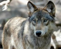 What wolves can teach us about the climate crisis